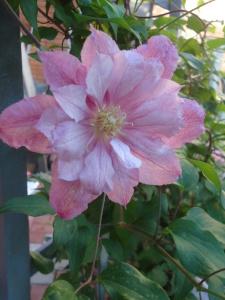 Цветок клематиса