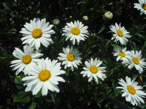Куст садовой ромашки