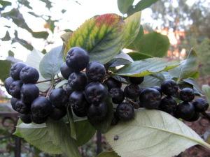крупные ягоды черноплодной рябины