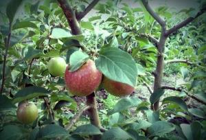 Яблони подходят почти любому саду