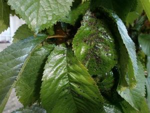 пораженные черной тлей листья