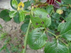 Пораженные септориозом листья розы