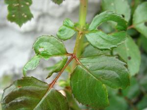 Объеденные листья розы