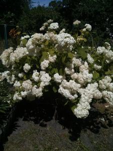 Фотография куста гортензии