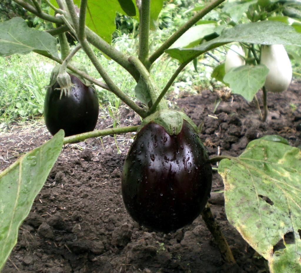 Выращивание баклажанов в сибири 97