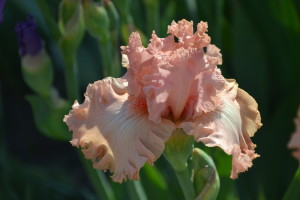 цветок ириса бородатого
