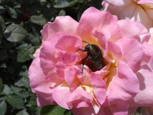 Жук бронзовка на розе