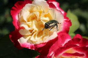 Вредитель роз жук бронзовка