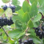 черноплодная рябина(арония)