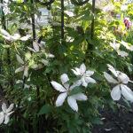 Цветение клематиса