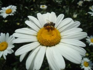 Садовая ромашка и пчелка