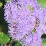 Цветок агератума