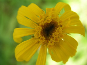 Цветок арники горной