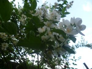 Нежные цветки жасмина