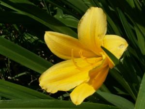 Цветущий лилейник