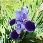 Цветущий ирис