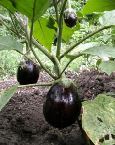 Зрелый урожай баклажанов
