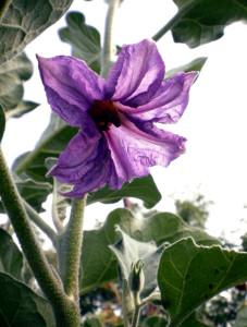 Цветок баклажана