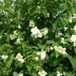 цветущий куст жасмина